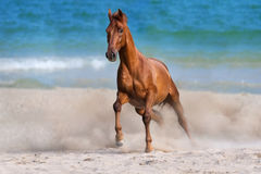 Red horse run. Horse run gallop on seashore stock photo