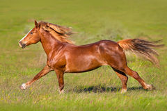 Red horse run. Red horse with long mane run gallop on green meadow Royalty Free Stock Images