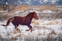 Red horse run. Ning on the snow Stock Image