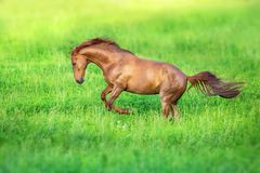 Red horse run. Red stallion free run on green grass stock photos