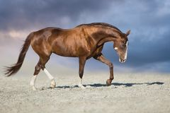 Red mare run in desert. Red horse run trot in desert dust against blue sky stock photos