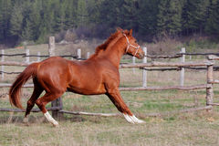 Red horse. Red horse running on the grass Stock Image