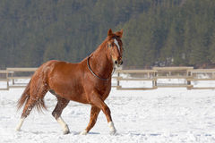 Red horse running on the snow. Red horse running on the snow in winter Royalty Free Stock Photo