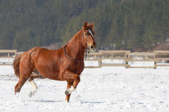 Red horse running on the snow. Red horse running on the snow in winter Royalty Free Stock Image