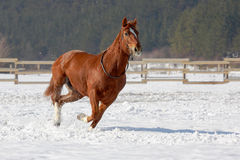 Red horse running on the snow. Royalty Free Stock Photo