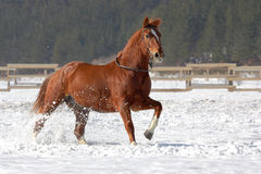 Red horse running on the snow. Red horse running on the snow in winter Stock Photo