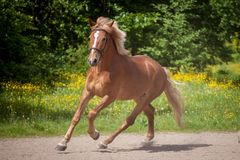 Red horse running to the green meadow Stock Images