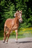 Red horse running to the green meadow Royalty Free Stock Photography