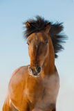 Red horse runs gallop in front Royalty Free Stock Photography