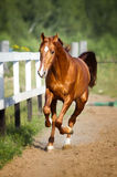 Red horse runs gallop on the pasture Stock Photos
