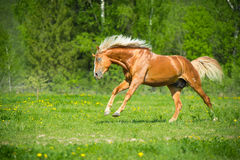 Red horse runs gallop in summer time Stock Photo