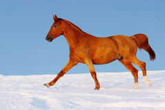 Red horse runs gallop in winter Royalty Free Stock Images