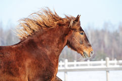Red horse runs gallop in winter Stock Images