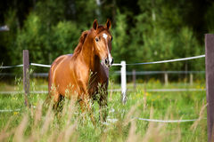 Red horse runs trot on the nature background Stock Photography