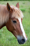 Red horse's head. With a long mane Royalty Free Stock Image
