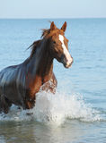 Red horse in the sea. In the summer Stock Photos