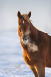 Red horse in snow Royalty Free Stock Image