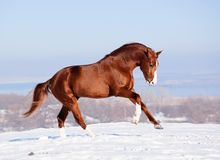 Red horse on the snow in winter. Beautiful red horse running gallop on the snow in winter Stock Photography