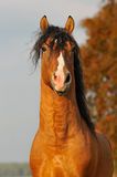 Red horse stallion portrait in autumn. Bay horse stallion portrait in autumn Stock Photography