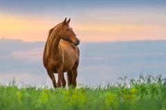 Red horse at sunrise Royalty Free Stock Photos