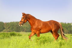Red horse trotting Royalty Free Stock Photos