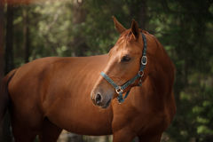 Red horse trotting in a meadow Royalty Free Stock Image