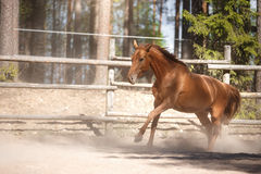 Red horse trotting in a meadow Royalty Free Stock Photography