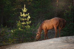 Red horse trotting in a meadow Royalty Free Stock Photos