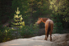 Red horse trotting in a meadow Royalty Free Stock Images