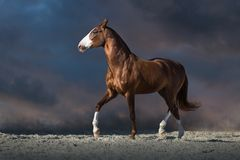 Red horse trotting royalty free stock image