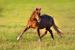Red horse trotting royalty free stock photo