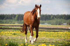 Red horse walk. In green field Royalty Free Stock Image