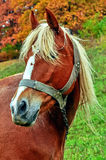 Red horse with white bangs. Portrait of a red horse Royalty Free Stock Photos