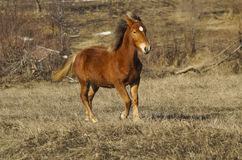 Red horse with a white blaze running on the field Royalty Free Stock Image