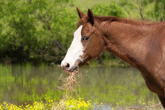 Red horse with white face eating hay Stock Photography
