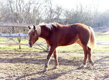 Red horse with white mane walks. In the paddock Royalty Free Stock Image