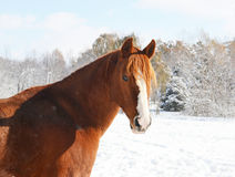 Red horse in white snow Stock Images