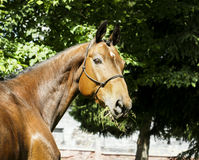 Red horse with a white spot on his head stands dressed in a halter Royalty Free Stock Images