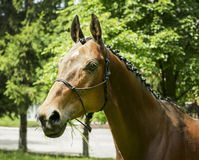 Red horse with a white spot on his head stands Stock Images