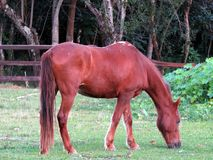 Red horse with white spots. Grazing with nearby birds Stock Image