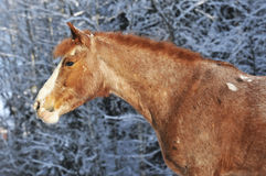 Red horse in winter. Whith snow trees Stock Photo