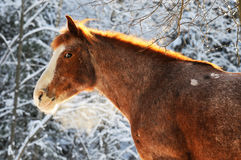 Red horse in winter. With snow trees Stock Photography