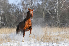 Red horse in winter runs gallop. On forest background Stock Photos