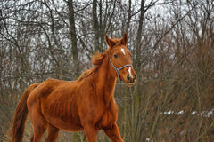 Red horse Stock Photography