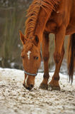 Red horse Royalty Free Stock Image