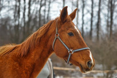 Red horse Royalty Free Stock Photos