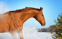 Red horse on winter walk Royalty Free Stock Photo