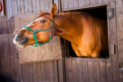 Red horse in  wooden stall Stock Photography
