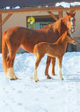 Red horses Royalty Free Stock Photo