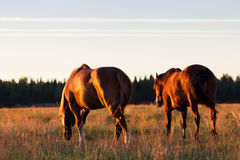 Red horses at golden hour on a pasture Royalty Free Stock Photography
